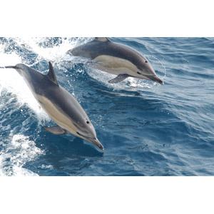 フリー写真, 動物, 哺乳類, イルカ, ジャンプ(動物)