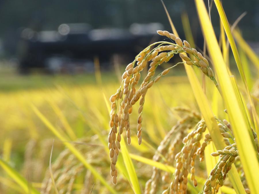 フリー 写真稲穂の実る田んぼの風景