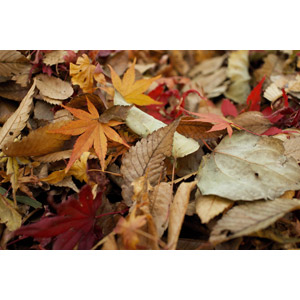 フリー写真, 植物, 葉っぱ, 落葉(落ち葉), 秋, もみじ(カエデ), 紅葉(黄葉)