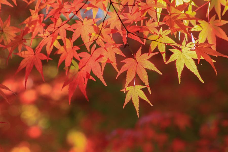 フリー 写真紅葉したもみじの葉っぱ