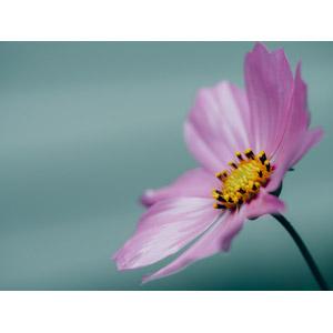 フリー写真, 植物, 花, コスモス(秋桜), ピンク色の花