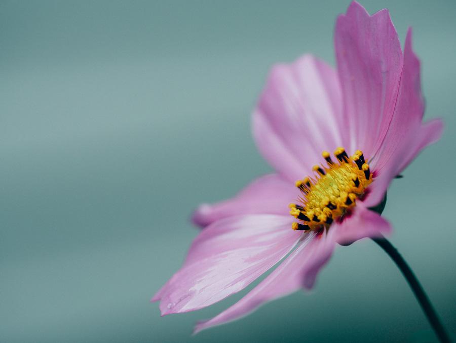 フリー 写真コスモスの花