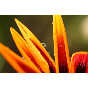 フリー写真, 植物, 花, 水滴(雫)