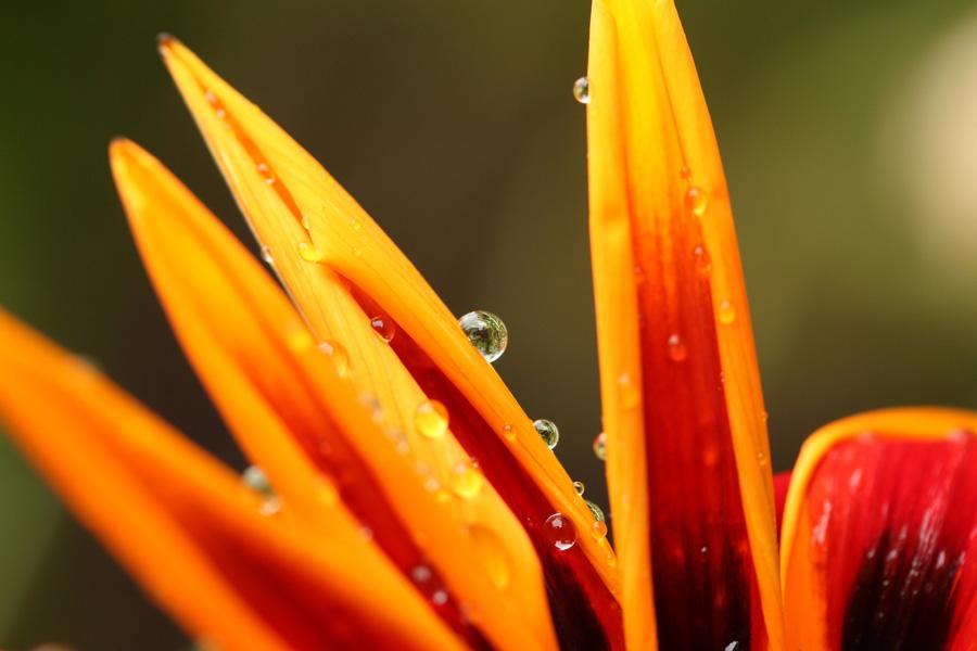 フリー 写真花についた雫