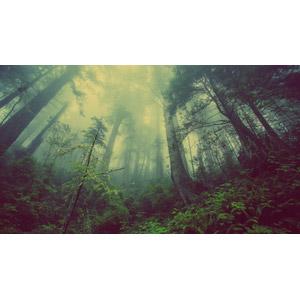 フリー写真, 風景, 自然, 森林, 霧(霞), 樹木