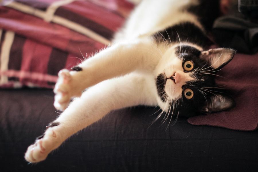 フリー 写真背伸びする黒白猫