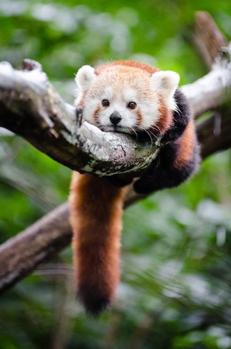フリー 写真木の枝にまたがるレッサーパンダ