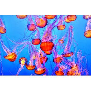 フリー写真, 動物, 刺胞動物, 海月(クラゲ), 水中
