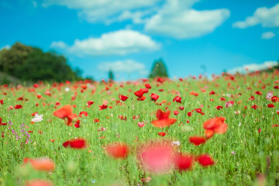 フリー 写真青空とヒナゲシ畑の風景