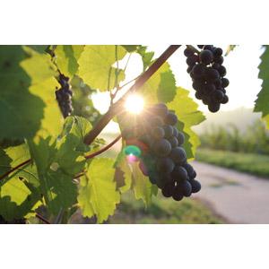 フリー写真, 食べ物(食料), 果物(フルーツ), 葡萄(ブドウ), 秋, 太陽光(日光)