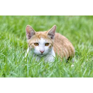 フリー写真, 動物, 哺乳類, 猫(ネコ), 子猫, 子供(動物), 茶白猫