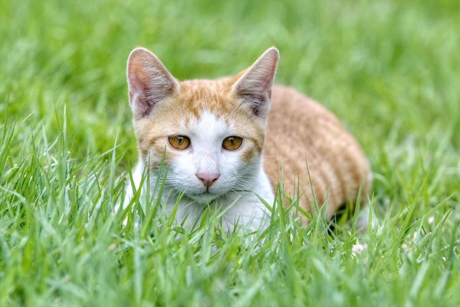 フリー 写真芝生に伏せる茶白の子猫
