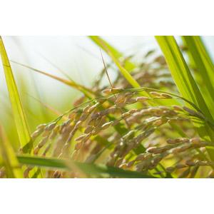 フリー写真, 植物, 作物, 稲穂, 稲(イネ), 水田(田んぼ)