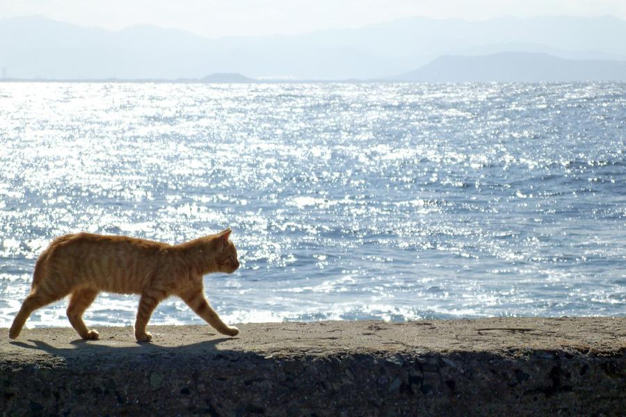 フリー 写真海と防波堤の上を歩く茶トラ猫