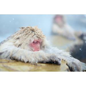 フリー写真, 動物, 哺乳類, 猿(サル), ニホンザル, 温泉, 露天風呂, 入浴(動物), 雪, 冬