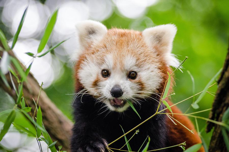 フリー 写真レッサーパンダ