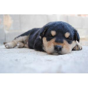 フリー写真, 動物, 哺乳類, 犬(イヌ), 子犬, 子供(動物), 寝る(動物)