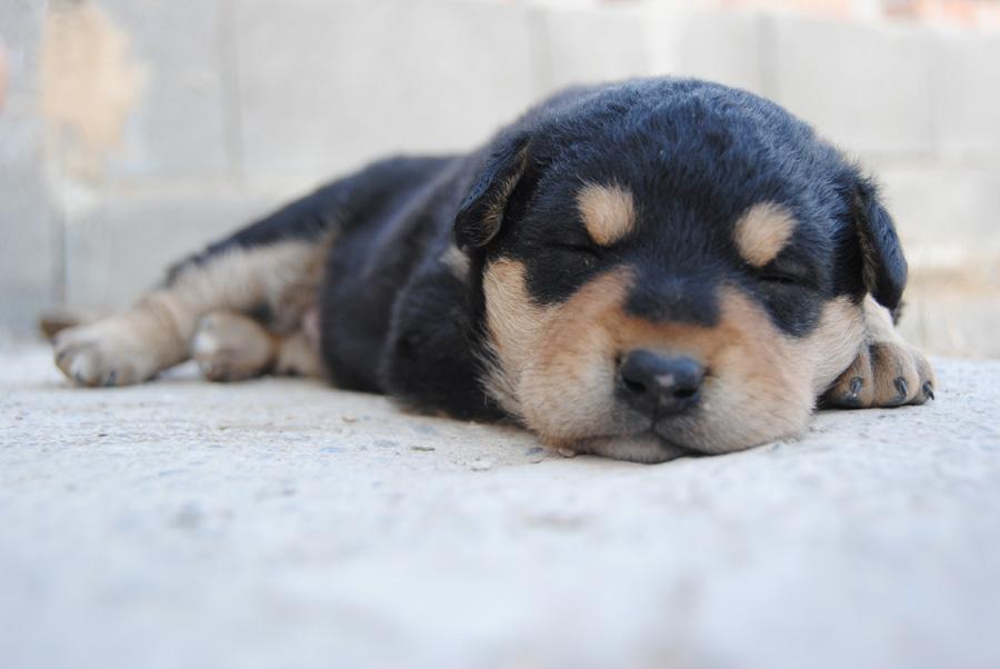 フリー 写真かわいい子犬の寝顔