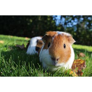 フリー写真, 動物, 哺乳類, 鼠(ネズミ), モルモット