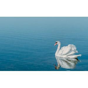 フリー写真, 動物, 鳥類, 鳥(トリ), 白鳥(ハクチョウ), 湖