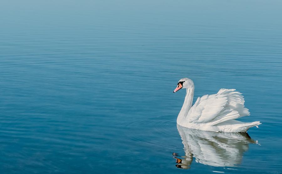 フリー 写真湖にいる白鳥
