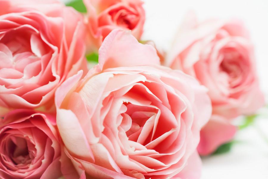 フリー 写真ピンク色のバラの花