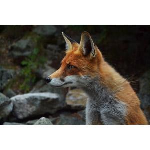 フリー写真, 動物, 哺乳類, 狐(キツネ)