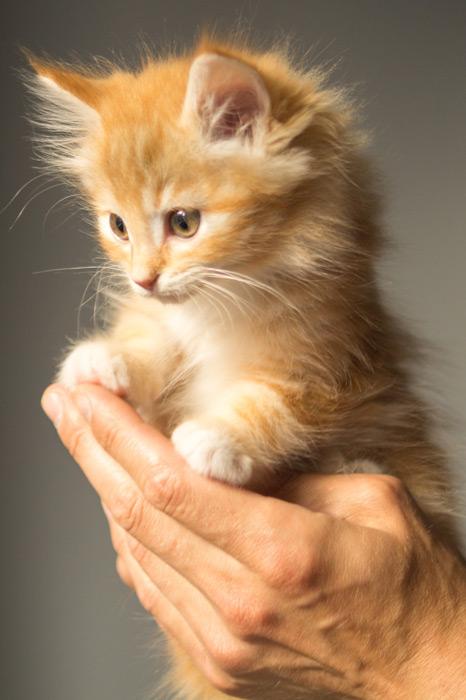 フリー 写真手の上に乗る子猫