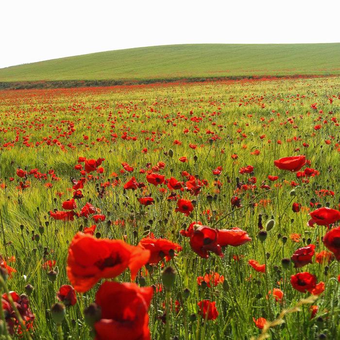 フリー 写真ヒナゲシの咲く草原と丘の風景