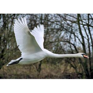 フリー写真, 動物, 鳥類, 鳥(トリ), 白鳥(ハクチョウ)