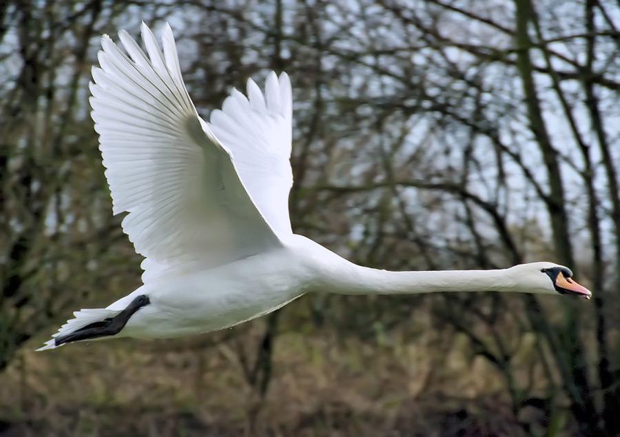フリー 写真飛んでいる白鳥