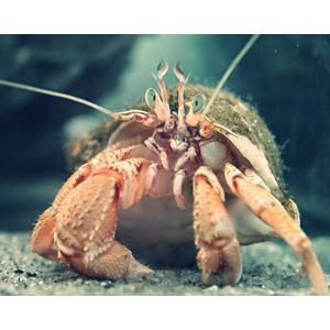 フリー写真, 動物, 甲殻類, ヤドカリ