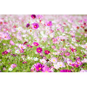 フリー写真, 風景, 植物, 花, コスモス(秋桜), 花畑