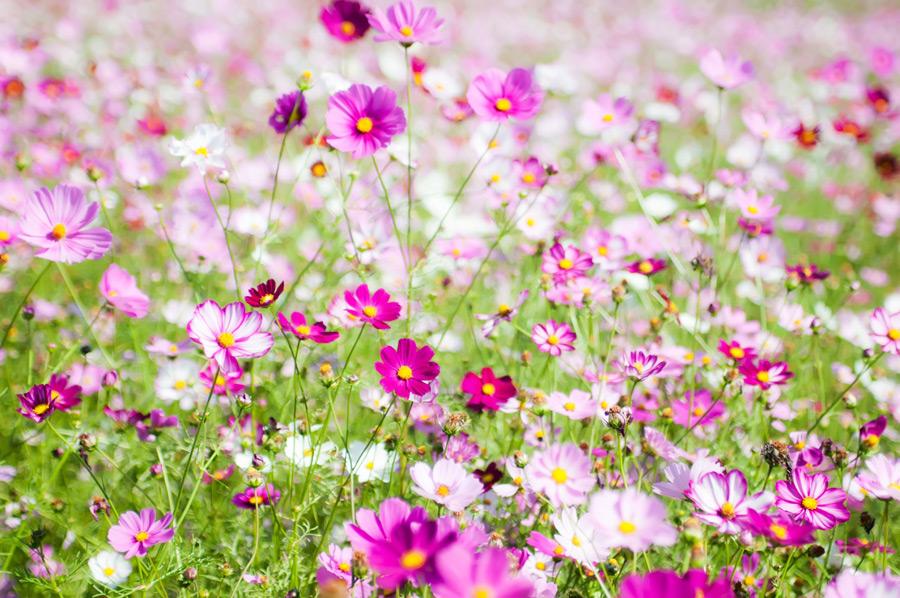 フリー写真 コスモス畑の風景