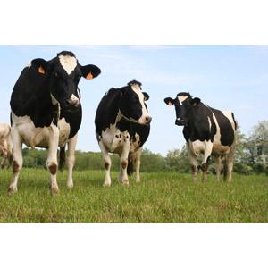フリー写真, 動物, 哺乳類, 牛(ウシ), ホルスタイン, 牧場