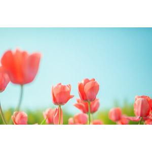 フリー写真, 風景, 青空, 植物, 花, チューリップ