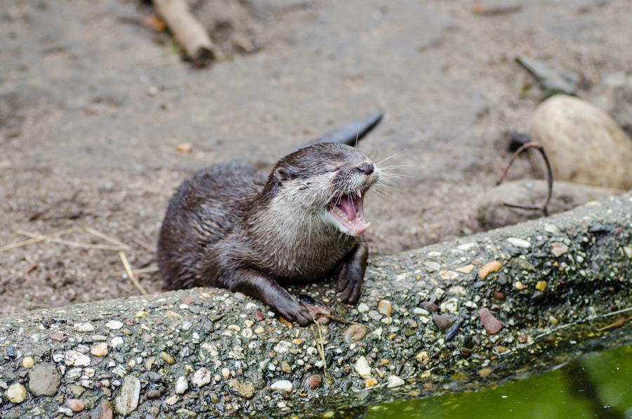 フリー写真 悲鳴を上げるカワウソ