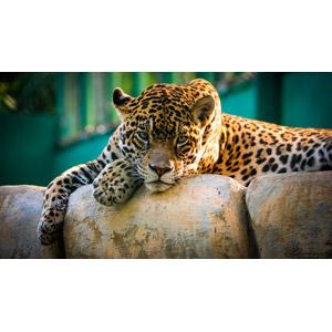 フリー写真, 動物, 哺乳類, 豹(ヒョウ)