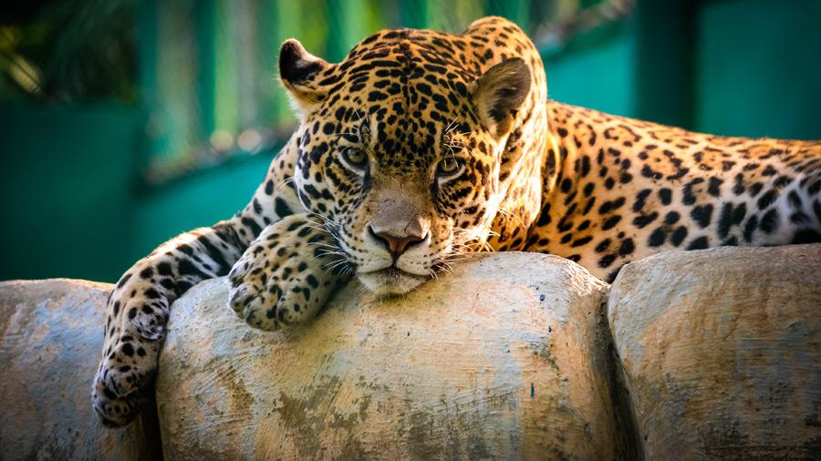 フリー写真 休憩中の豹