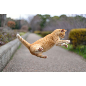 フリー写真, 動物, 哺乳類, 猫(ネコ), 茶トラ猫, ジャンプ(動物)