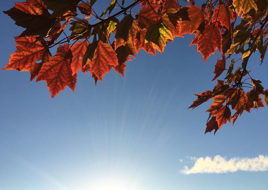 フリー写真 青空と紅葉したカエデの葉