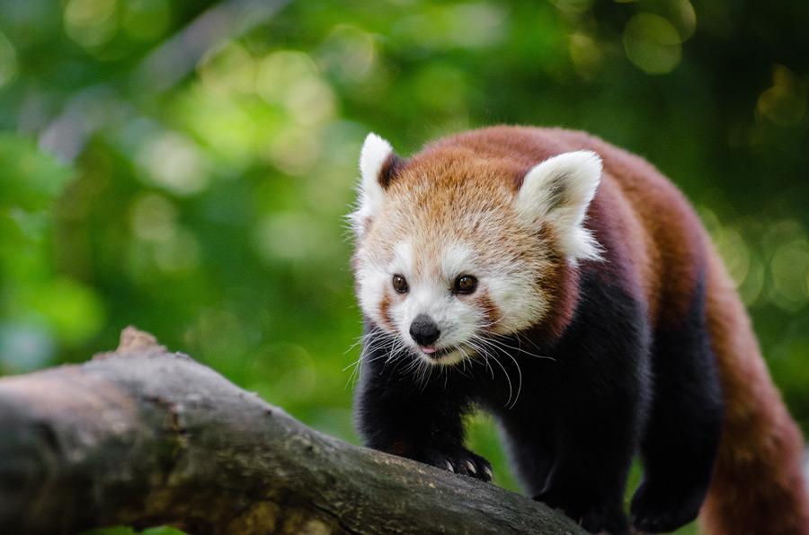 フリー写真 木の枝を歩くレッサーパンダ
