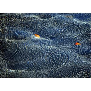 フリー写真, 風景, 水, 波紋, 葉っぱ, 落葉(落ち葉)