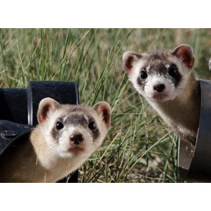 フリー写真, 動物, 哺乳類, イタチ