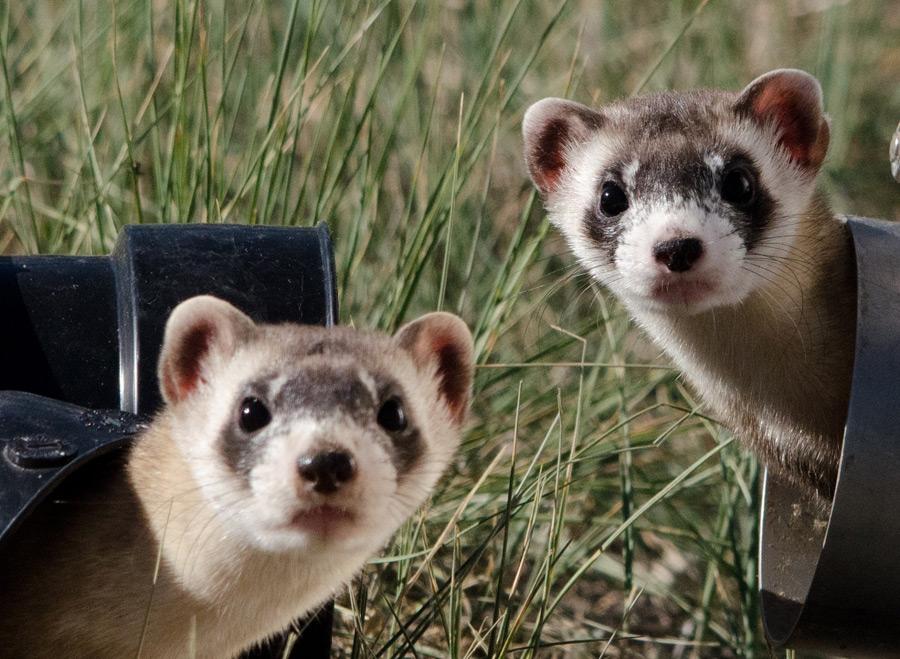 フリー写真 顔を出す二匹のクロアシイタチ