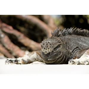 フリー写真, 動物, 爬虫類, イグアナ, 寝る(動物)