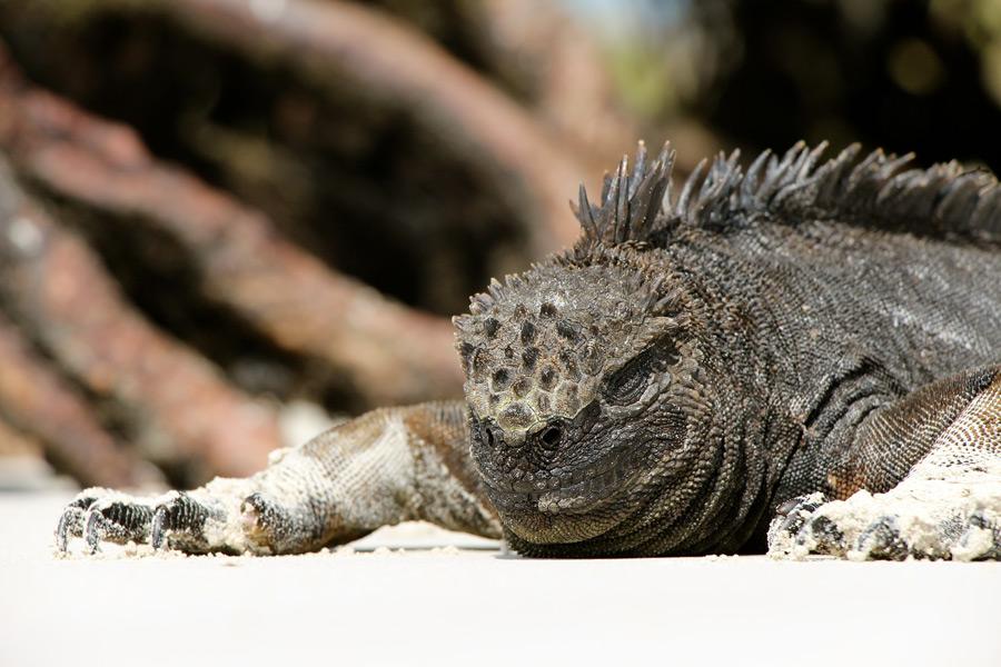 フリー写真 寝ているのイグアナ