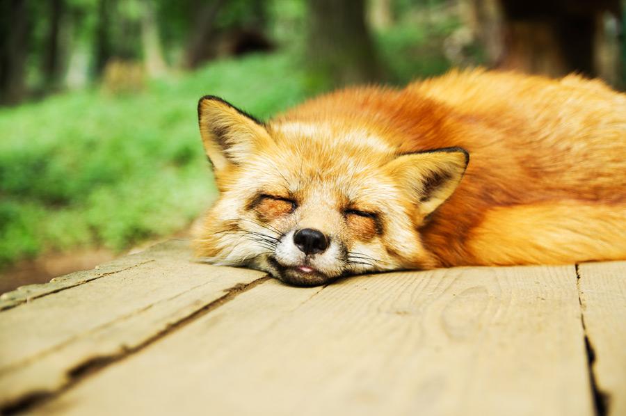 フリー写真 寝ているきつね