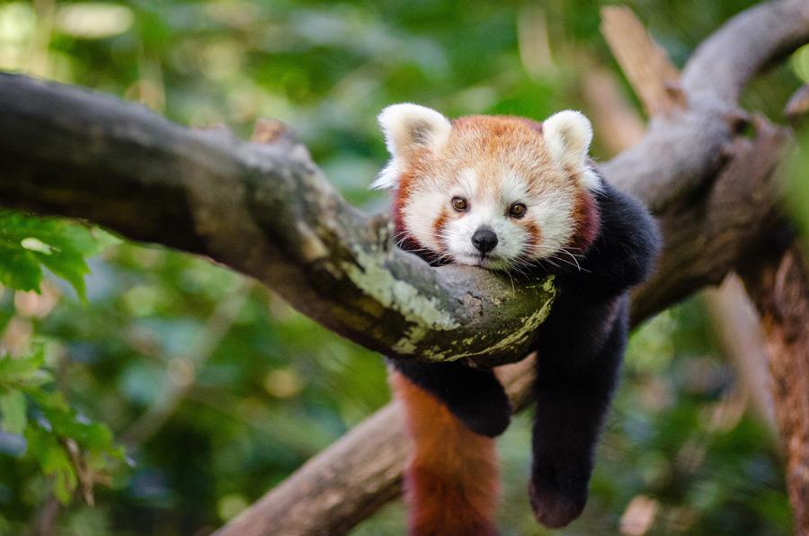 フリー写真 木の枝にまたがっているレッサーパンダ