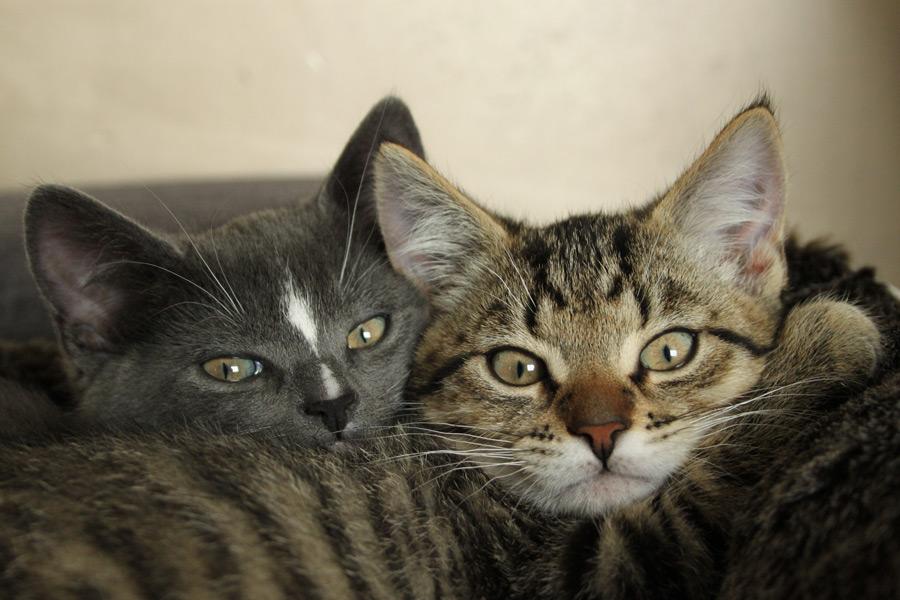 フリー写真 寄り添う二匹の子猫